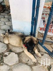 Caucasian Puppy For Sale 3months Old | Dogs & Puppies for sale in Central Region, Awutu-Senya