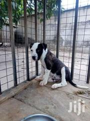Pedigree Pit Bull Puppy | Dogs & Puppies for sale in Greater Accra, Nungua East