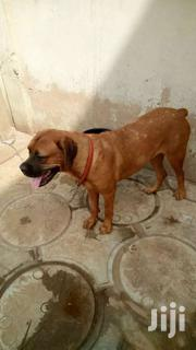 BULL MASTIFF FEMALE | Dogs & Puppies for sale in Greater Accra, Kwashieman
