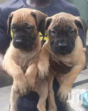 Pedigree Boerboel Puppy | Dogs & Puppies for sale in Greater Accra, Nungua East