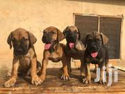 Dog - Boerbool 4sale | Dogs & Puppies for sale in Ashanti, Kumasi Metropolitan