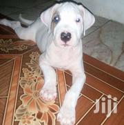 Dogo Argentino | Dogs & Puppies for sale in Greater Accra, Roman Ridge
