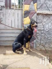 Doberman For Crossing   Dogs & Puppies for sale in Greater Accra, Adenta Municipal