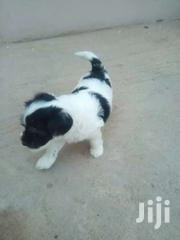 Poodle Puppies | Dogs & Puppies for sale in Greater Accra, North Kaneshie