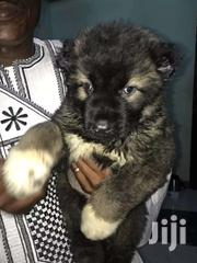 Pedigree Big Bone And Short Mouth Caucasian Shepherd Puppy. | Dogs & Puppies for sale in Greater Accra, Nungua East