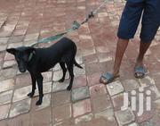 LOCAL PURE BLACK DOG | Dogs & Puppies for sale in Greater Accra, East Legon