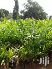 Palm Seedlings | Feeds, Supplements & Seeds for sale in Greater Accra, Adenta Municipal