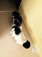 Poodle | Dogs & Puppies for sale in Greater Accra, Odorkor