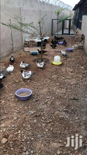 Rabbits, Ducks, Turkey For Sale | Livestock & Poultry for sale in Greater Accra, Tema Metropolitan