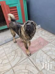 Full Breed Male Caucasian For Crossing | Dogs & Puppies for sale in Greater Accra, Adenta Municipal