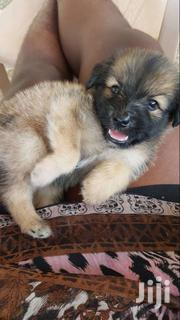 Poppy Pre Breed | Dogs & Puppies for sale in Greater Accra, Accra Metropolitan