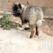 Caucasian   Dogs & Puppies for sale in Greater Accra, Dansoman