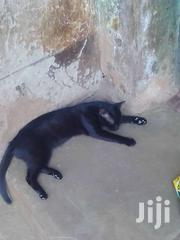 A Black Cat | Cats & Kittens for sale in Brong Ahafo, Techiman Municipal