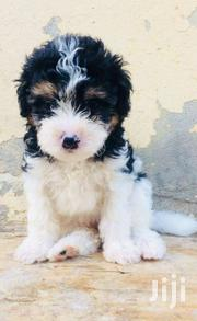 Poodle | Dogs & Puppies for sale in Greater Accra, Teshie-Nungua Estates