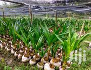 Certified Dwarf Hyrbrid Coconut Seedlings | Feeds, Supplements & Seeds for sale in Greater Accra, North Labone