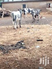 Cow For Selling | Livestock & Poultry for sale in Northern Region, Zabzugu/Tatale