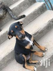 DOBERMAN PUPS | Dogs & Puppies for sale in Western Region, Shama Ahanta East Metropolitan