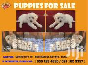 Poodle | Dogs & Puppies for sale in Greater Accra, Ashaiman Municipal