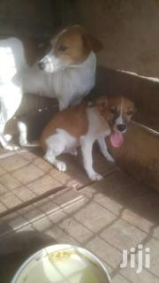 1month Mongrel Nd Local Mix | Dogs & Puppies for sale in Western Region, Shama Ahanta East Metropolitan