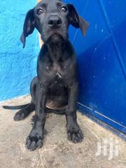 Pedigree Female Great Dane 3months | Dogs & Puppies for sale in Ashanti, Kumasi Metropolitan