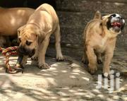 Solid Boerboel Puppies For Sale | Dogs & Puppies for sale in Greater Accra, Ga South Municipal