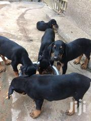 Doberman | Dogs & Puppies for sale in Greater Accra, Kwashieman