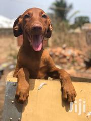 Doberman Female Puppies | Dogs & Puppies for sale in Greater Accra, Kwashieman