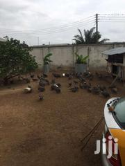 Guinea Fowl Eggs And Birds Wholesale | Meals & Drinks for sale in Greater Accra, Odorkor