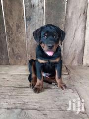 Pedigree Rottweiler Puppy | Dogs & Puppies for sale in Greater Accra, Ashaiman Municipal