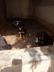 Rottweiler | Dogs & Puppies for sale in Eastern Region, New-Juaben Municipal