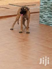 Boerboel | Dogs & Puppies for sale in Greater Accra, Ga West Municipal