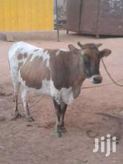 Big Cow | Livestock & Poultry for sale in Northern Region, Zabzugu/Tatale