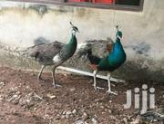 Peacocks | Birds for sale in Greater Accra, Accra Metropolitan