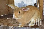 Rabbits Matured | Livestock & Poultry for sale in Greater Accra, Tema Metropolitan