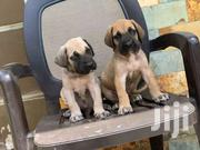 Boerboel Puppies | Dogs & Puppies for sale in Greater Accra, Adenta Municipal