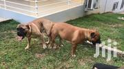 Bullmastiff | Dogs & Puppies for sale in Greater Accra, Achimota