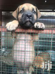 Solid Boeboels For Sale | Dogs & Puppies for sale in Greater Accra, Tema Metropolitan