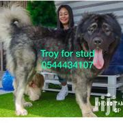 Male Caucasian Shepherd For Crossing | Dogs & Puppies for sale in Greater Accra, Dansoman