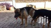 German Shepherd | Dogs & Puppies for sale in Greater Accra, Ga South Municipal