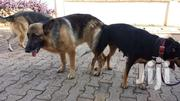 Senior Male Purebred German Shepherd Dog | Dogs & Puppies for sale in Greater Accra, Ga South Municipal
