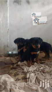 Pure Rottweiler Puppies | Dogs & Puppies for sale in Greater Accra, Ashaiman Municipal