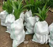 HYBRID DWARF COCONUT SEEDLINGS | Feeds, Supplements & Seeds for sale in Greater Accra, Achimota
