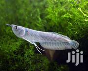 LIVE Fish For Aquarium | Fish for sale in Greater Accra, Ashaiman Municipal