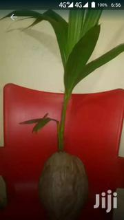 CERTIFIED DWARF COCONUT | Feeds, Supplements & Seeds for sale in Greater Accra, Achimota