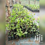 QUALITY GRAFTED SEEDLINGS | Feeds, Supplements & Seeds for sale in Brong Ahafo, Wenchi Municipal