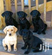 Black Labrador Retriever  Poppies | Dogs & Puppies for sale in Greater Accra, East Legon (Okponglo)