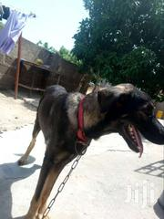 Young Female Purebred German Shepherd Dog | Pet's Accessories for sale in Central Region, Gomoa West