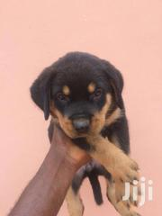 Female Rottweiler For Sale | Dogs & Puppies for sale in Greater Accra, Adenta Municipal