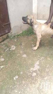 Pure Boerboel Male | Dogs & Puppies for sale in Ashanti, Afigya-Kwabre