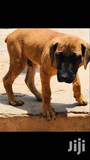 Boerboel X Bullmastiff 4 Months Old Pups | Dogs & Puppies for sale in Greater Accra, Adenta Municipal
